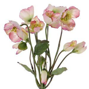 Roze helleborus